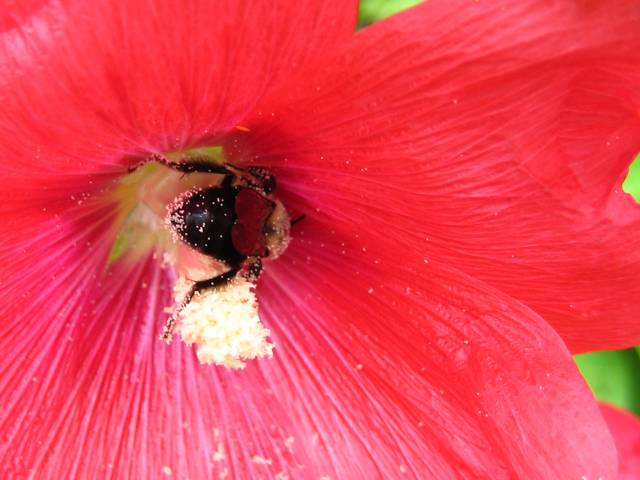 Hollyhock and Bee